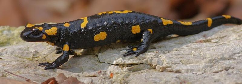 Salamandra škvrnitá - Fire Salamander