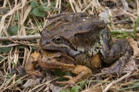 Skokan hnedý/Common Grass Frog