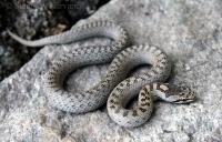 Užovka hladká/Smooth Snake