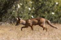 Líška hrdzavá - Vulpes vulpes - Red Fox