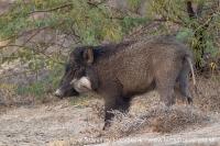 Sviňa divá indická - Sus scrofa indica - Indian wild Boar