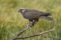 Sokol rároh - Falco cherrug - Saker Falcon