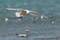 Čajka tenkozobá - Croicocephalus genei - Slender-billed Gull