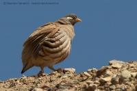 Čiľ piesočný - Ammoperdix heyi - Sand Partridge