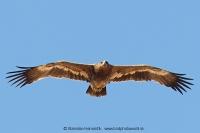 Orol stepný - Aquila nipalensis - Steppe Eagle