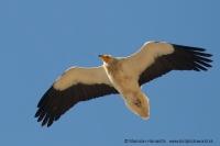 Zdochlinár biely - Neophron percnopterus - Egyptian Vulture