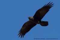 Krkavec púštny - Corvus ruficollis - Brown-necked Raven