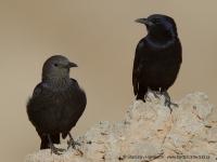 Liskavec roklinový - Onychognathus tristramii - Tristram´s Starling