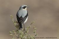 Skaliarik sivý - Oenanthe oenanthe - Northern Wheatear