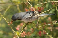Penica čiernohrdlá - Sylvia rueppelli - Ruppells´ Warbler