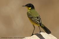 Trasochvost žltý čiernohlavý - Motacilla flava felldegg - Yellow Wagtail