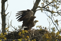Orliak morský - Haliaeetus albicilla - White-tailed Eagle