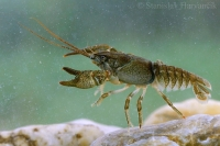 Rak riavový/Stone crayfish