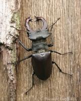 Roháč veľký/Stag beetle