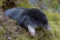 Krt podzemný/European Mole