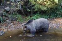 Medveď hnedý/Brown Bear