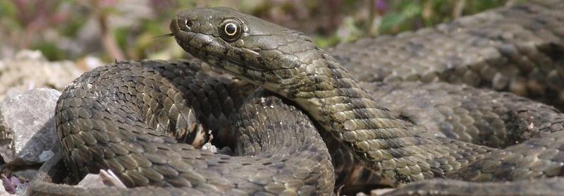 Užovka fŕkaná - Dice Snake Tessellated