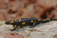 Salamandra škvrnitá/Fire Salamander