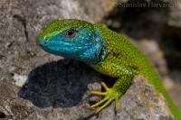 Jašterica zelená/Green Lizard