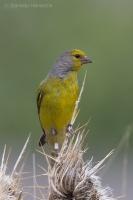 Stehlík citrónový - Citril Finch