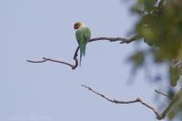 Alexander dlhochvostý - Psittacula longicauda tytleri - Long-tailed Parakeet