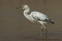 Volavka pobrežná - Egretta gularis - Reef Egret