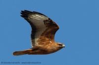 Myšiak líščí - Buteo buteo vulpinus - Steppe Buzzard