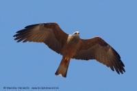 Haja tmavá - Milvus migrans - Black Kite