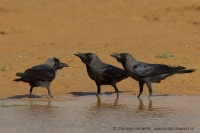 Vrana lesklá - Corvus splendens - House Crow