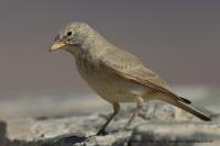 Škovránok bledý - Ammomanes deserti - Desert Lark