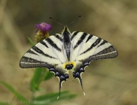 Vidlochvost ovocný/Scarce Swollowtail
