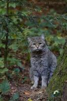 Mačka lesná/Wild Cat